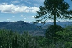 Araucaria de Chile cerca Cuesta Las Raices, Lonquimay, Chile