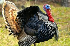 Caruncles, Breast Beards, and Snoods, Oh My! The MF Guide to Turkey Anatomy