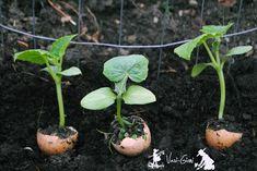 Cultivarea castravetilor in cojile de oua ce ne raman de la micul-dejun si apoi ciupirea lor, atunci cand cresc, desprea aceste lucruri veti citi aici. Vegetable Garden, Homesteading, Succulents, Vegetables, Bar, Agriculture, Tomatoes, Plant, Lawn And Garden