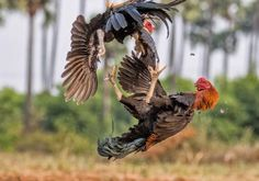The Best Photographs of Fighting Rooster Ever By Gowrishankar