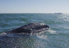 Gray whale calf in Laguna de San Ignacio, Baja California Sur, Mexico.