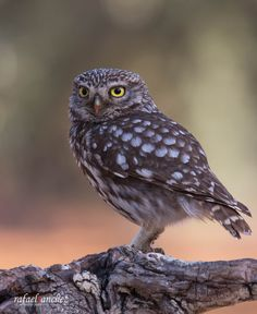 Mochuelo - Common owl by Rafael Sanchez Sanchez  on 500px