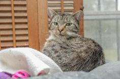 1/2016***Daisy is an adoptable Domestic Short Hair searching for a forever family near Columbia, SC Cat • Domestic Short Hair Mix • Young • Female • Small  Animal Protection League Columbia, SC