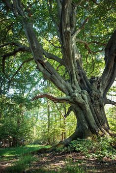 ~~Frithsden Beech (Circa 350 Years Old) Tree by Starting Out..~~