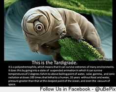 Also known as the Water Bear
