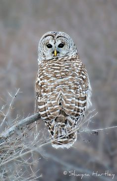 Barred Owl (Strix varia); confirmed by a huge, perfect feather left on the deck, and heard clearly... not yet seen.
