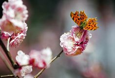 """Busy butterfly - A butterfly perches on a blossoming fruit tree at a park in Beijing, China on April 6. Fruit trees blossom in Beijing as the weather warms signaling the arrival of spring."" ~MSN"