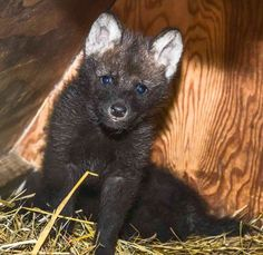 Bold + Shy, Maned Wolf Pups: http://www.zooborns.com/zooborns/2013/06/maned-wolf-twins-born-at-smithsonian.html