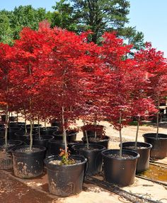Recommendations For Bonsai Cultivating in Tallassee, Tennessee fireglow japanese maple tree Home Landscaping, Front Yard Landscaping, Garden Trees, Trees To Plant, Japanese Tree, Chinese Maple Tree, Acer Palmatum, Gras, Bonsai