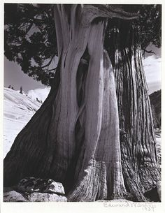 "Edward Weston (1886-1958) ""Juniper, Lake Tenaya"" 1937"
