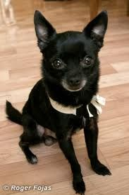 Black Chihuahua LOOKS LIKE MY FUR NEPHEW SID!!! Hey Misha!!!