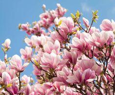 A little bit of softness 🌺 🍃 Magnolia Gardens, Magnolia Plantation, Love Garden, Magnolia Flower, My Secret Garden, Vacation Places, Permaculture, Magnolias, Landscaping