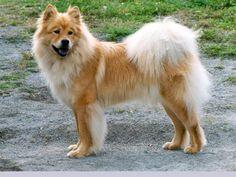 Eurasier / Eurasian Dog