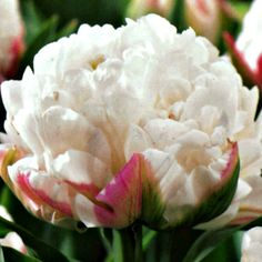Tulip Bulbs (Double) Ice Cream ~ a double scoop of gorgeous! ~Shauna