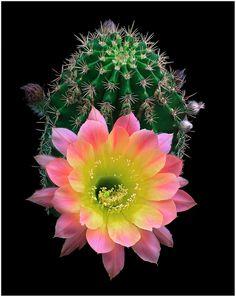 "Echinopsis hybrid ""Napea"""