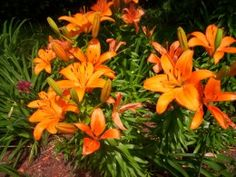How to choose and grow Asian and Oriental lilies