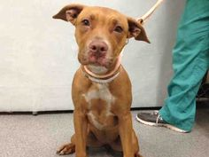 ●8•20•16 STILL THERE●☆☆PUPPY☆☆ - KALESI - A1085333 - Urgent Manhattan - FEMALE TAN/WHITE PIT BULL MIX, 7 Mos - STRAY - N HOLD Reason STRAY - Intake 08/13/16 Due Out 08/16/16 - TIMID AND NERVOUS, SWEET, CLINGY TO HANDLER