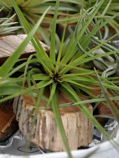 Tillandsia - air plant on driftwood
