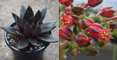 Echeveria 'Black Knight' is a small growing, rosette style succulent with dramatic dark coloring and green markings to the inside of the...
