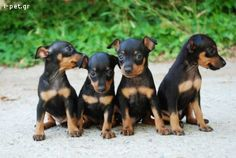 The Doberman Pinscher is among the most popular breed of dogs in the world. Known for its intelligence and loyalty, the Pinscher is both a police- favorite Mini Pinscher, Doberman Pinscher, Miniature Pinscher, Baby Animals, Funny Animals, Cute Animals, Baby Puppies, Dogs And Puppies, Doberman Puppies