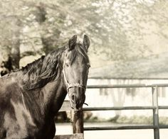 Horse Photography black and white horse by FirstLightPhoto on Etsy