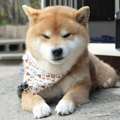 """In 2013 the internet exploded with the """"Doge"""" meme, since then Shiba Inus became one of the most loved dogs of the web. This breed that originates in Japan was first used for hunting. Now Shiba Inus mostly hunt for likes, and they do it so well. Shiba Inu, Cute Baby Animals, Animals And Pets, Funny Animals, Canis Lupus, Japanese Dogs, Akita Dog, Cute Dogs And Puppies, Pet Life"""