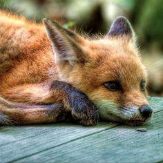 Cute Creatures, Beautiful Creatures, Animals Beautiful, Happy Animals, Animals And Pets, Cute Animals, Wolf Hybrid, Fox Totem, Fantastic Fox