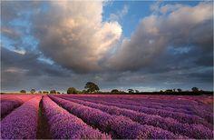 Lavender Field, England