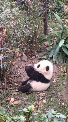 60 Ideas baby animals panda so cute for 2019 Niedlicher Panda, Panda Bebe, Cute Panda, Cute Funny Animals, Cute Baby Animals, Animals And Pets, Wild Animals, Baby Panda Bears, Baby Pandas