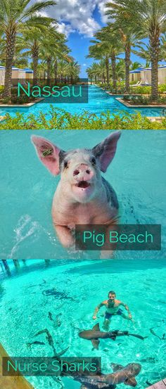 Pig beach and swim with nurse sharks and pigs in the Exumas. Visit Baha Mar in Nassau. Best itinerary for traveling the Bahamas.