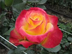 Roses #flowers learn how 2 #grow #rose http://www.growplants.org/growing/hybrid-tea-rose Buy Yellow Red Rare Rose Seeds