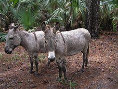 Ossabaw Island donkeys