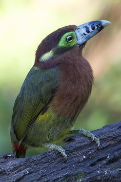 creatures-alive: Spot-billed Toucanet by Arlei Bertani