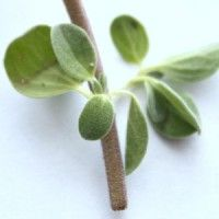Spotlight on Herbs: Marjoram | I rarely see marjoram in the spotlight. It humbly takes its place next to showier herbs like borage and bay leaf trees, and more popular rosemary and thyme. And yet, year after year, this little plant thrives in both garden and pot. It survives the long winter, basking in the light of a sunny window. With both culinary and medicinal uses, it's an herb that deserves a second look. | GNOWFGLINS.com