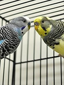 Parakeets- 1 yr. Marin Humane Society Novato, CA. <3 John & <3 Kyndra are two very bonded budgies looking for their forever family! They will need a lg cage in a brightly lit, draft-free area & many fun toys rotated frequently to keep them busy. Make sure their cage is not near the kitchen- fumes can be dangerous! Need high-quality seed mix, pelleted parakeet food & lots of fresh veggies to ensure they stay healthy. Can live up to 12-15 yrs & be messy & vocal, but promise to be worth the…