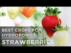 Best Crops for Hydroponics: Strawberries - YouTube