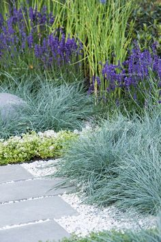 H U G: Healing Urban Garden; Festuca glauca (blue fescue grass) and Lavandula planted in gravel between paving slabs - Designer: Rae Wilkinson; Sponsor: Living Landscapes;  RHS Hampton Court Palace Fl