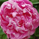 Peonies - Types of Wedding Flowers | Bride & Blossom