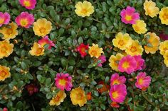 Portulaca Place portulaca, or moss rose, in a site where it will receive sun for most of the day. When the plant sits in shade, its flowers will close up. Pair moss rose with other heat loving, drought tolerant plants like wandering Jew, which will provide color between blooming cycles.