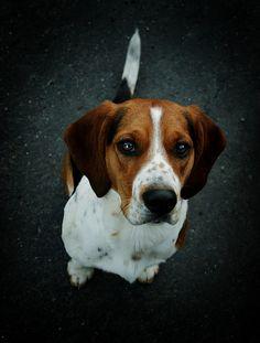beagle #dog #beagle #animal #