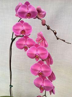 Phalaenopsis Tai Lin Red Angel (Tai Lin Angel x New Eagle) Z-20746