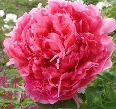 NIB 20 Chinese Red Peony Flower Seed Beautiful Flower Seeds Hot free shipping #huaxianzi