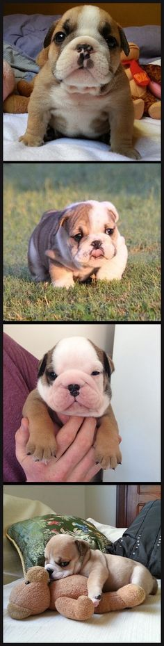 @Rebecca Dezuanni Hartwig Bulldog puppies... I do like puppies and one of these days I will have my English bull dog!