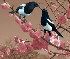 Black Billed Magpie (Pica hudsonia) a bird in the crow family, inhabits the…