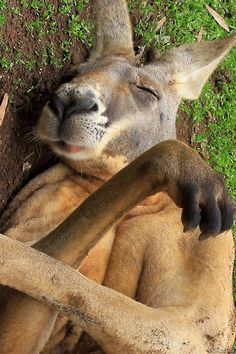 Sleep eating Kangaroo.
