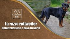 Il Rottweiler - Caratteristiche e dove trovarlo - Documentario di Alleva...