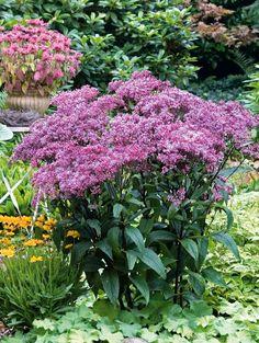 Неприхотливое и пышноцветущее растение для вашего сада посконник пурпурный украсит клумбу и скроет от глаза неприглядные места вашего участка.
