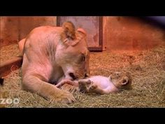 """Lion Cubs at Woodland Park Zoo Seattle What a beautiful and good mom! LOL Around 5:50 she is licking one of the cubs and he tries to get away and she gently, but determinedly gets him back as if saying, """"Get back here, you ARE getting a bath!"""" At 17:16 one of the cubs starts using mom's tail as a chew toy."""