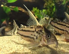 This was one of my sail fin corydoras. Planted Aquariums Pinterest