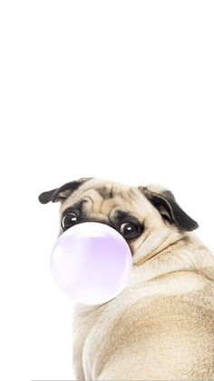 iPhone and Android Wallpapers: Chewing Gum Pug Wallpaper for iPhone and Android . - iPhone and Android Wallpapers: Chewing Gum Pug Wallpaper for iPhone and Android - Wallpaper Pug, Animal Wallpaper, Wallpaper Backgrounds, Iphone Backgrounds, Best Iphone Wallpapers, Funny Wallpapers, Pug Art, Pug Puppies, Pug Love